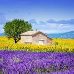 sonnenblumen_lavendelfeld _mediteran_shutterstock_226872604_2000px_c_ventdusud (800x532)